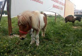 Midilli atlarımız